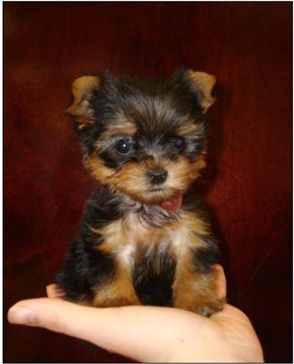 Teacup Yorkies aren't true Yorkshire Terriers. They can also require specialized medical care.