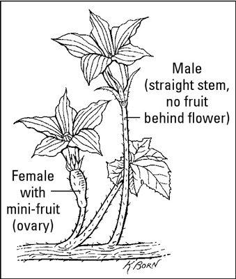 ���� - Como crescer Vining vegetais