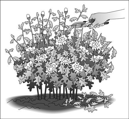 ���� - Como cuidar de um jardim Perennial