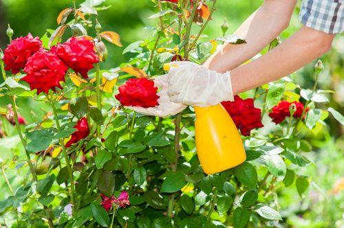 ���� - Como cuidar de rosas