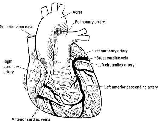 ���� - Bombeamento para a Vida: Anatomia e função do coração