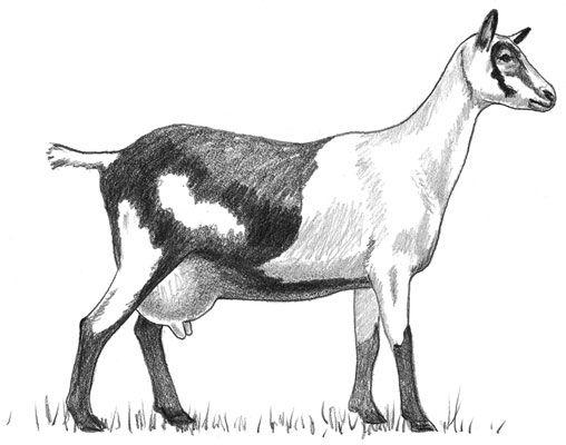 ���� - Padrão das raças de caprinos leiteiros