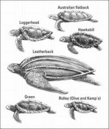 ���� - Nadando com tartarugas marinhas, enquanto Mergulho