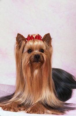 ���� - Penteados Yorkshire terrier