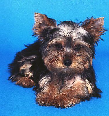 Alguns Yorkies ostentar um filhote de cachorro, que se assemelha a um filhote de cachorro's easy-to-maintain coat.