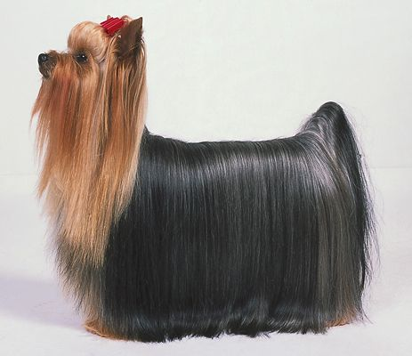 O AKC Yorkie ideal.